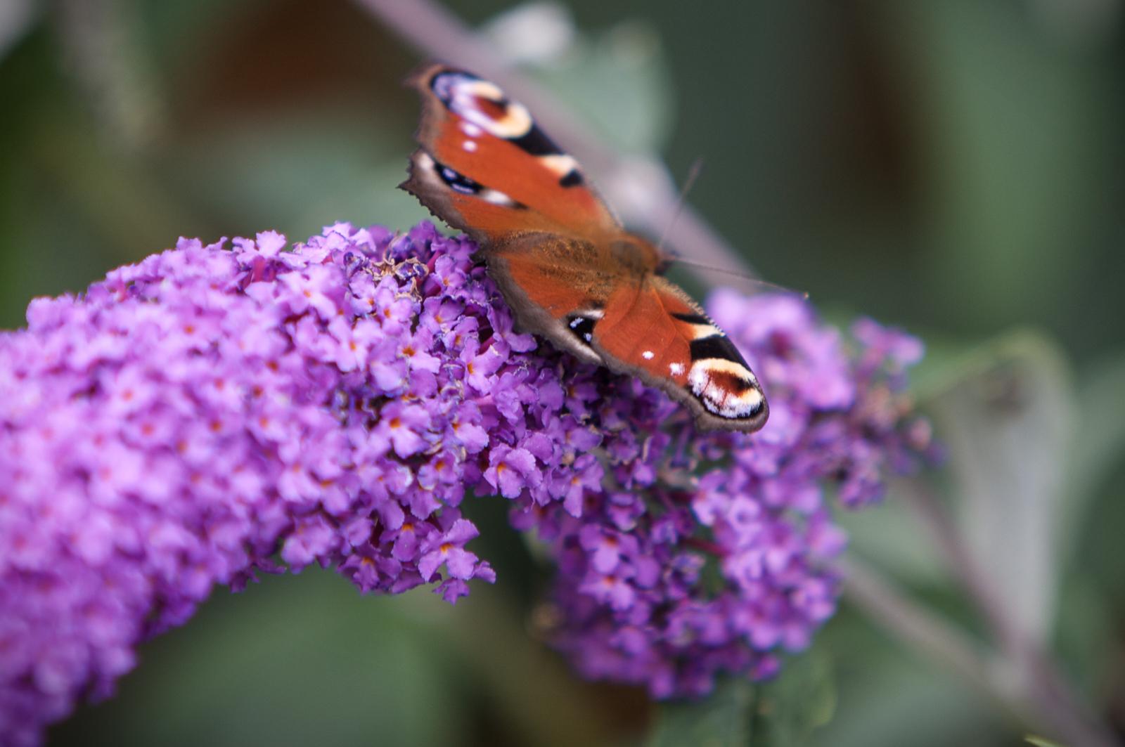 20090802 - Butterfly -090802 -002