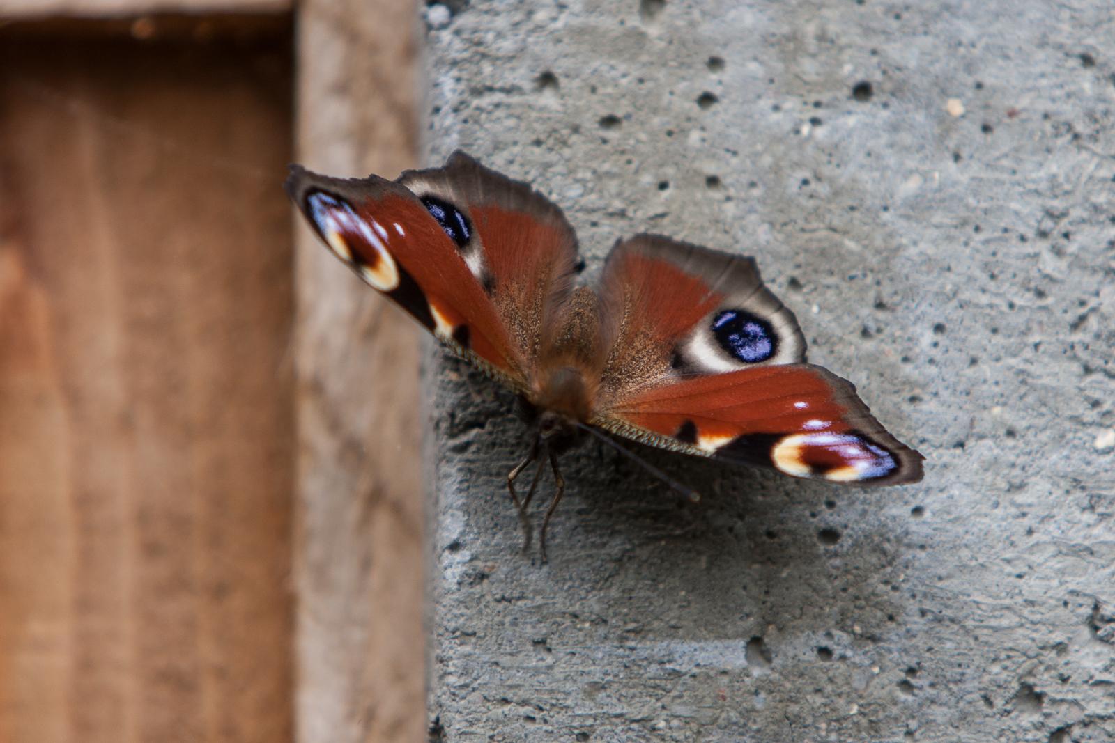 20090802 - Butterfly -090802 -003