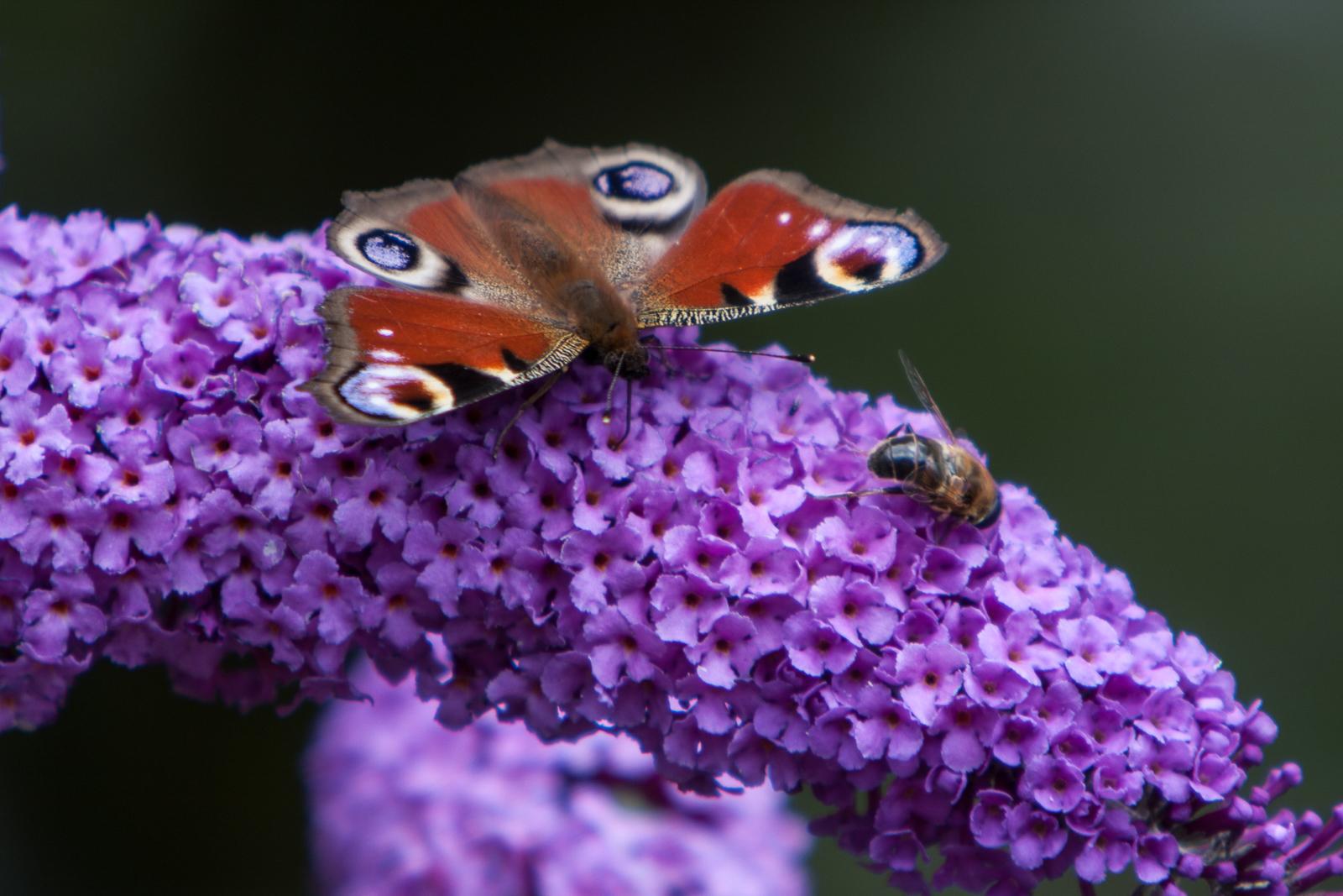 20090802 - Butterfly -090802 -004