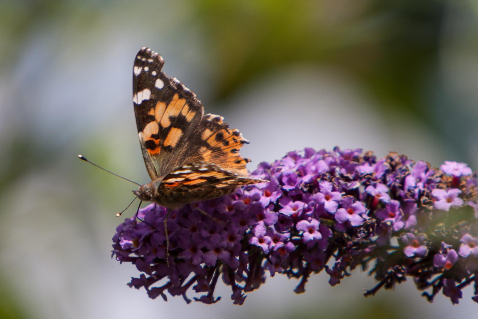 20090802 - Butterfly -090802 -005