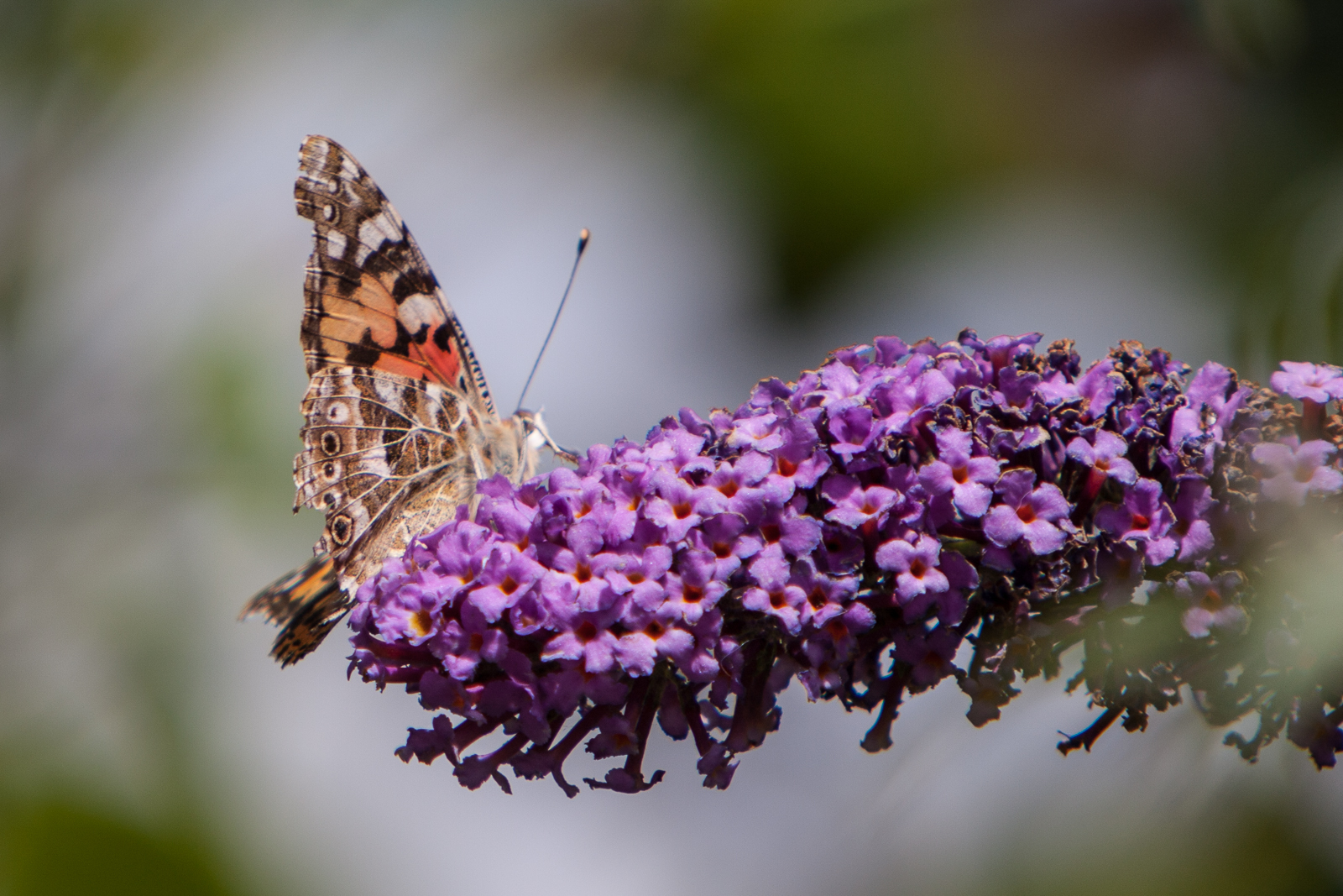 20090802 - Butterfly -090802 -006