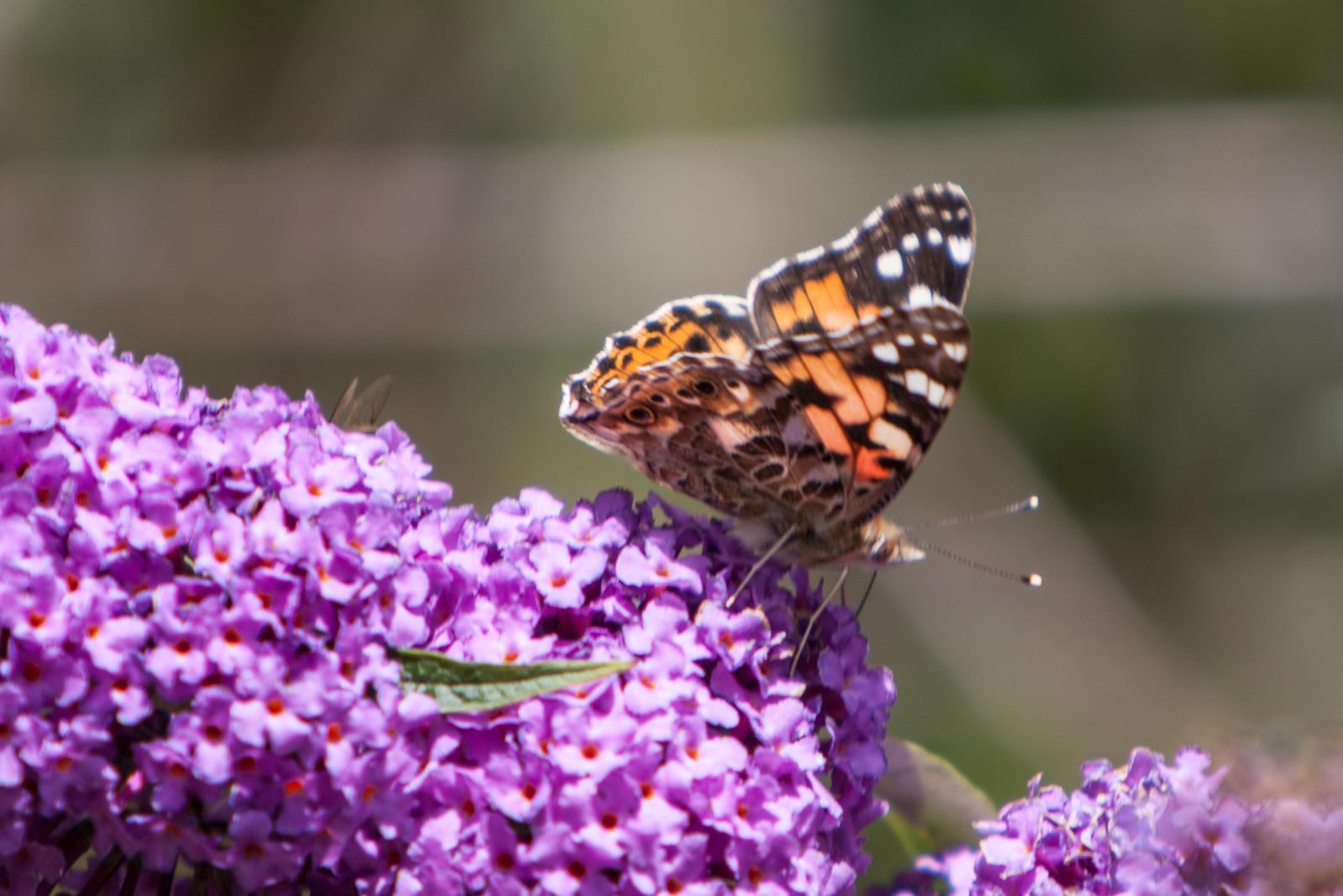 20090802 - Butterfly -090802 -007