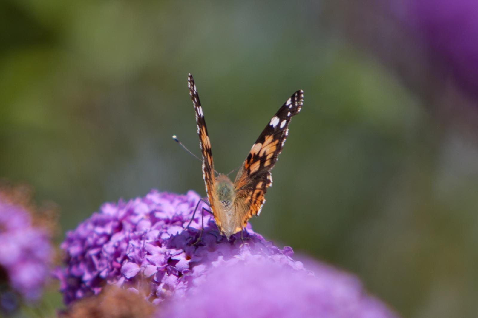 20090802 - Butterfly -090802 -008