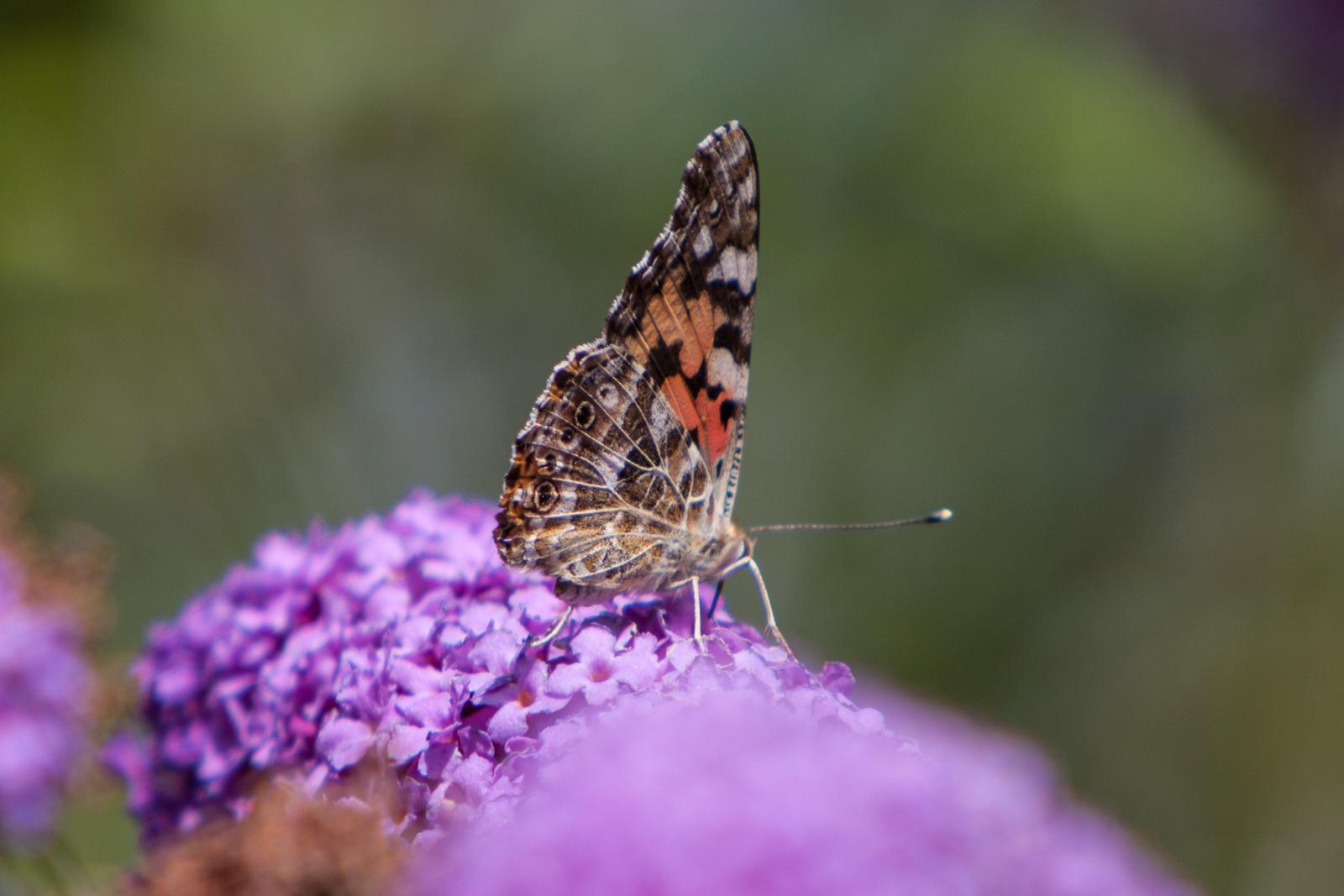 20090802 - Butterfly -090802 -009