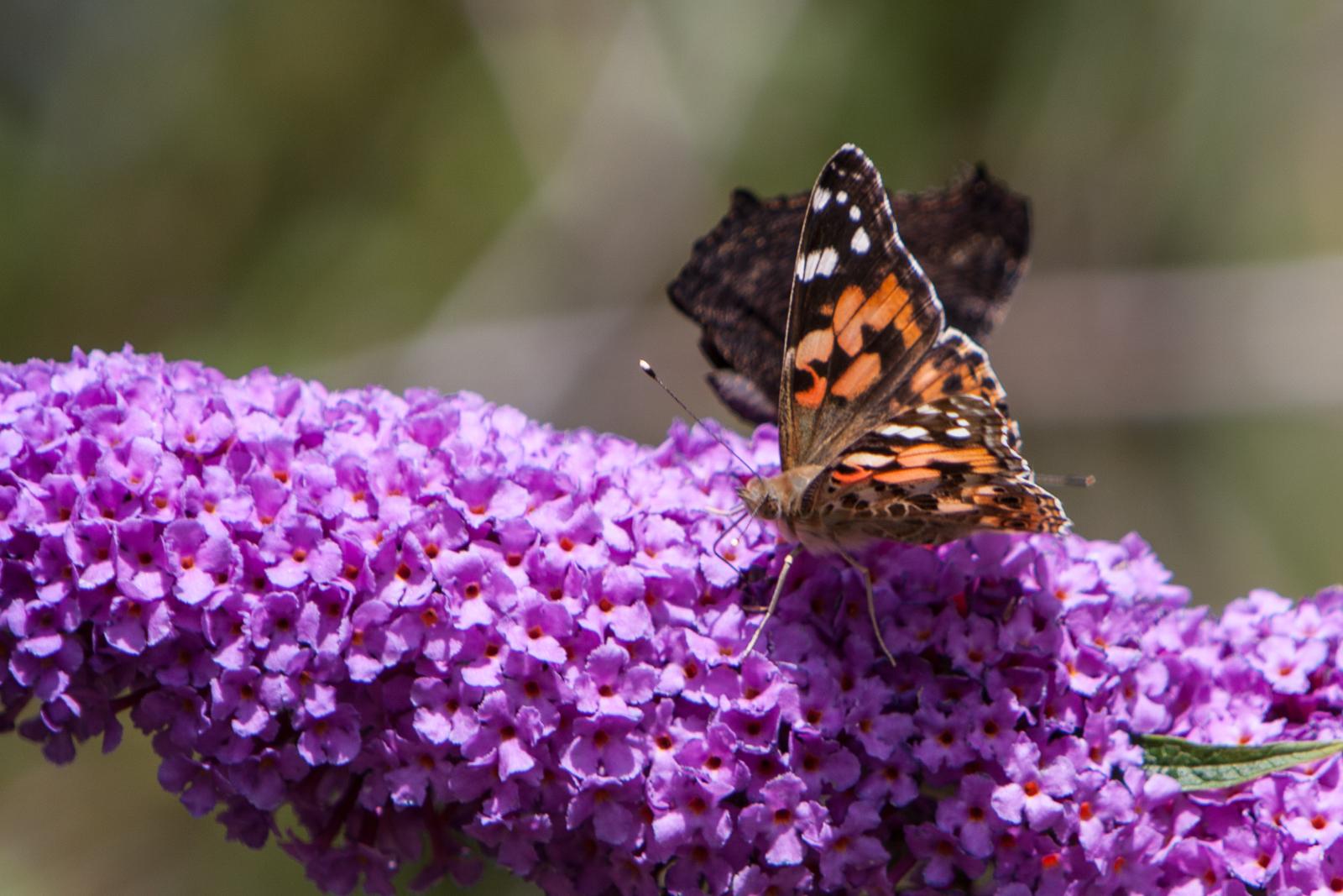 20090802 - Butterfly -090802 -010