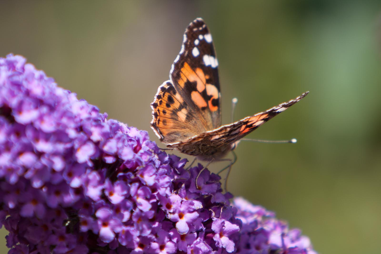 20090802 - Butterfly -090802 -011