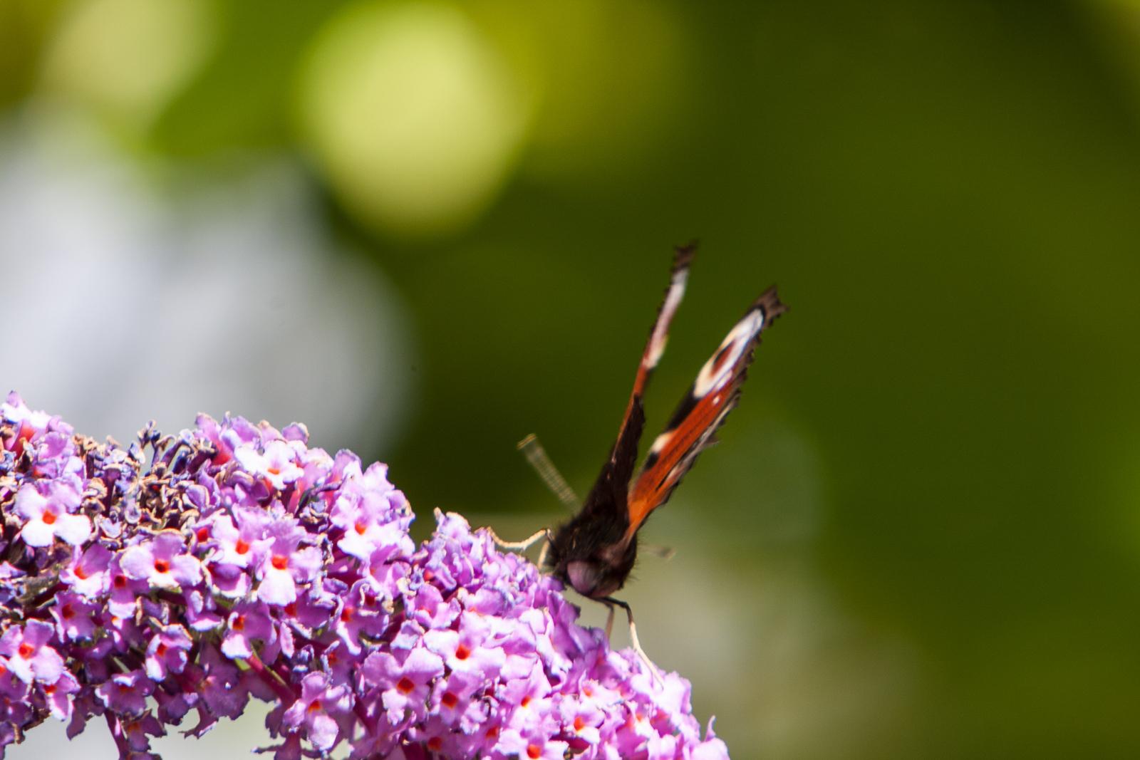20090802 - Butterfly -090802 -012
