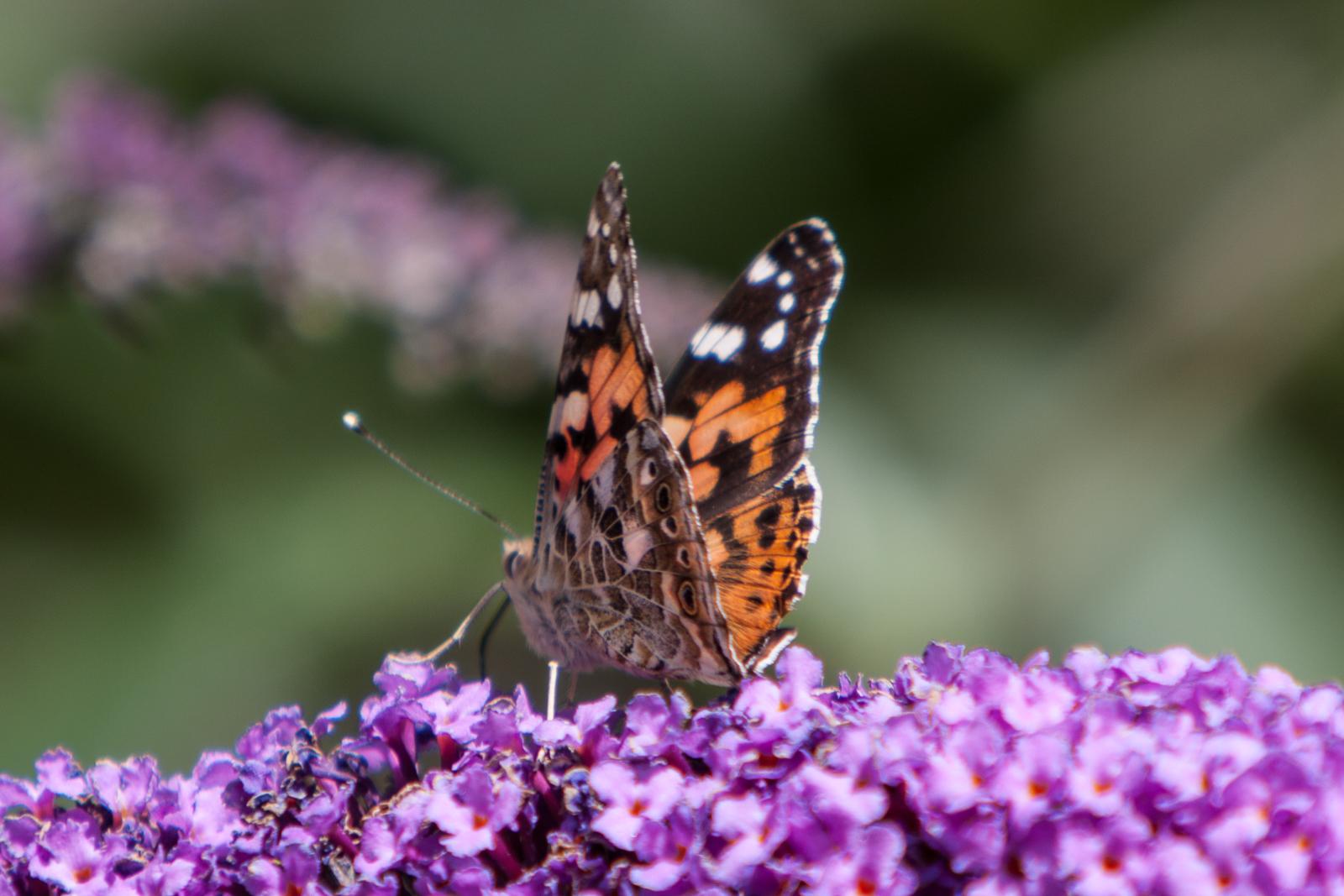 20090802 - Butterfly -090802 -013
