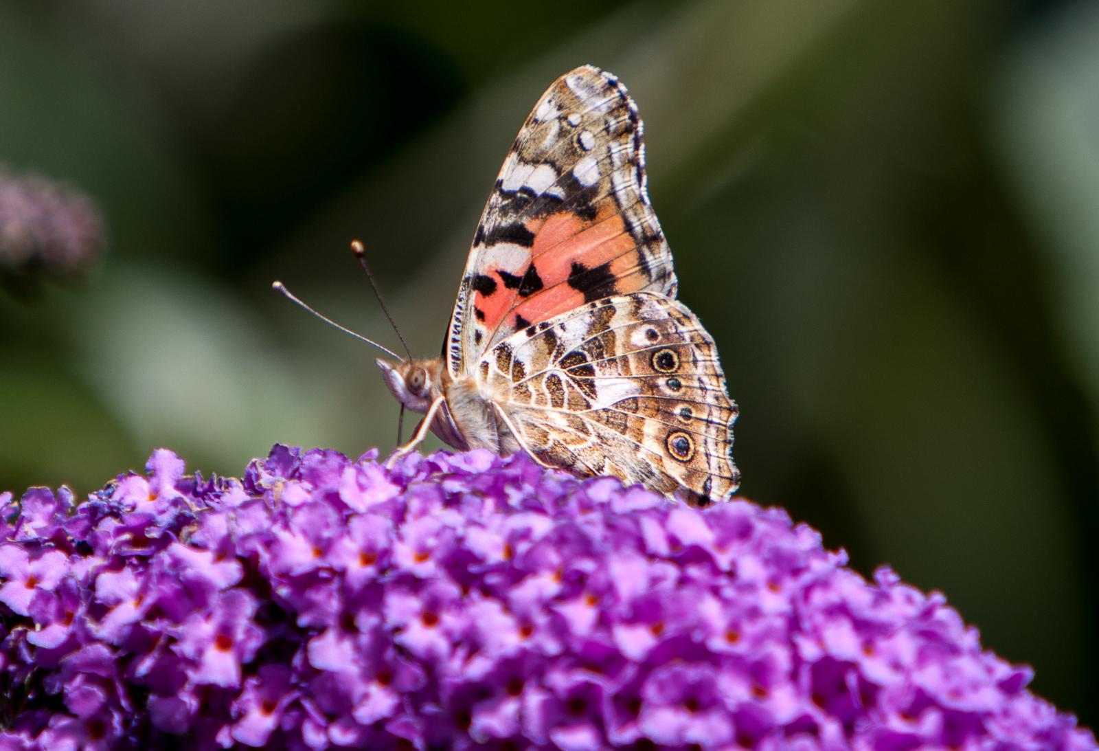 20090802 - Butterfly -090802 -014