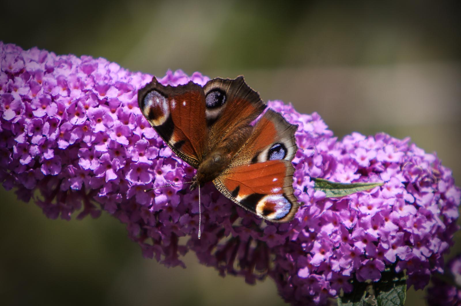20090802 - Butterfly -090802 -015